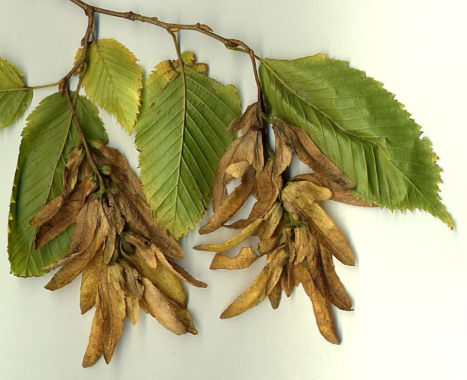 Hornbeam leaves and seeds - hornbeam can be trciky to identify as it looks similar to some other common woodland species. Leaves are similar to beech, seeds look a bit like sycamore or maple and the growth pattern is a little like hazel.