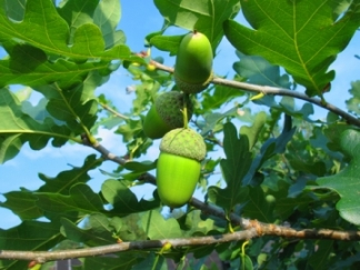 Fresh green acorns, typical of the english oak tree.
