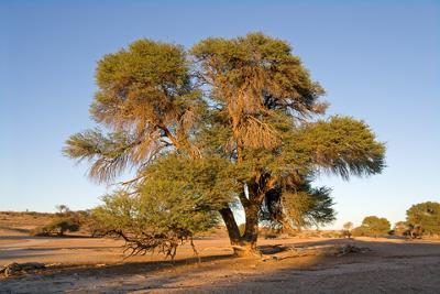 Acacia Erioloba, or the