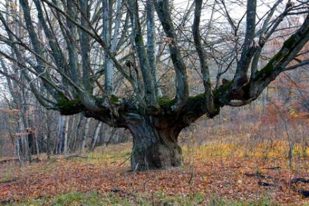 This ancient oak has been pollarded for firewood many times in it's history