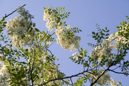 Black Locust Flowers - these are edible, with a sweet flavour. They are traditionally cooked into simple fritters.