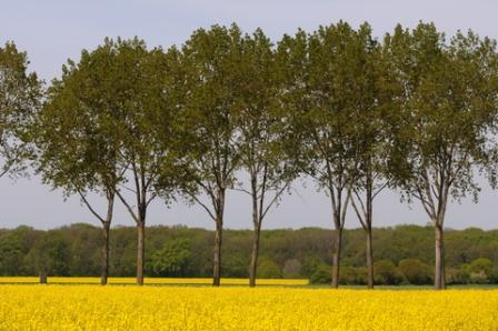 Fields of oilseed rape for biodiesel production - this land use forces up food prices